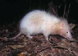 The moon rat I saw looked like this one which I found at http://sites4school.com/giant%20rats.html