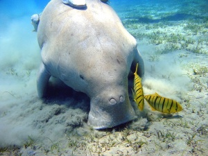 A Dugong  by  dive report.com